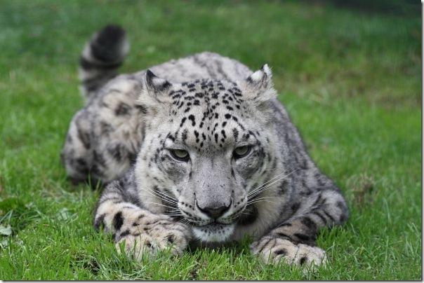 snow leopard zoo